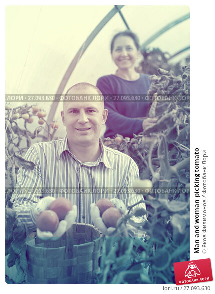 Купить «Man and woman picking tomato», фото № 27093630, снято 12 сентября 2012 г. (c) Яков Филимонов / Фотобанк Лори