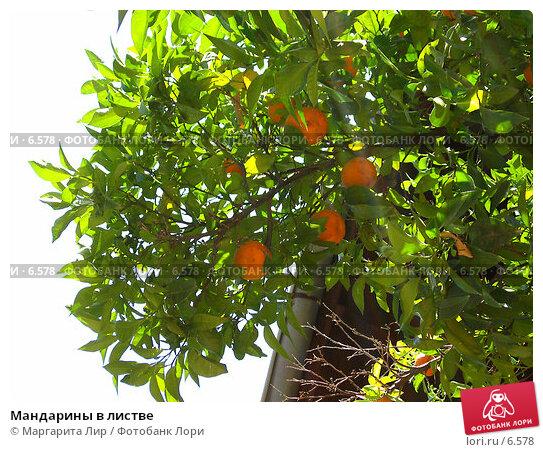 Мандарины в листве, фото № 6578, снято 7 июля 2006 г. (c) Маргарита Лир / Фотобанк Лори