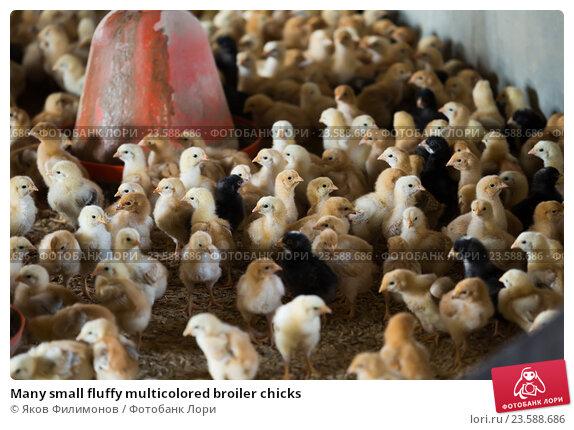 Купить «Many small fluffy multicolored broiler chicks», фото № 23588686, снято 20 апреля 2019 г. (c) Яков Филимонов / Фотобанк Лори