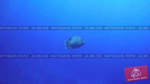 Купить «Маори губан (Cheilinus undulatus) в голубой воде, Красное море, Шарм-эль-Шейх, Синайский полуостров, Египет», видеоролик № 24385530, снято 30 ноября 2016 г. (c) Некрасов Андрей / Фотобанк Лори