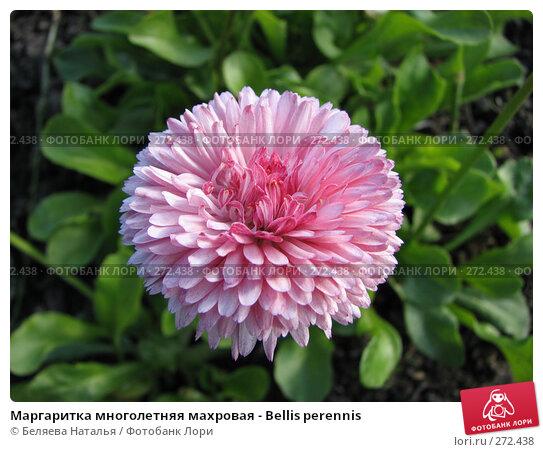Маргаритка многолетняя махровая - Bellis perennis, фото № 272438, снято 4 июня 2007 г. (c) Беляева Наталья / Фотобанк Лори