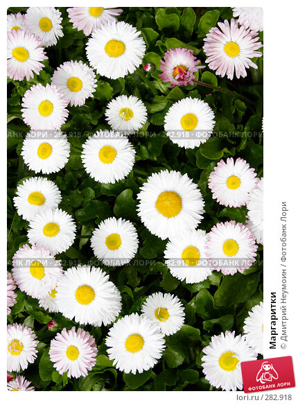 Купить «Маргаритки», эксклюзивное фото № 282918, снято 20 апреля 2008 г. (c) Дмитрий Неумоин / Фотобанк Лори
