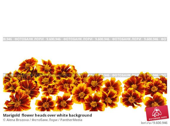 Купить «Marigold  flower heads over white background», фото № 9600946, снято 15 ноября 2019 г. (c) PantherMedia / Фотобанк Лори