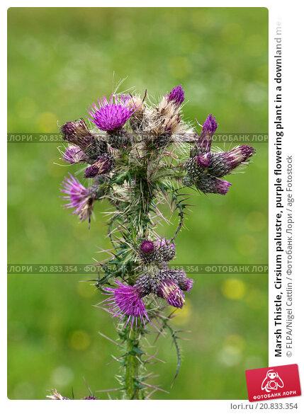 Купить «Marsh Thistle, Cirsium palustre, purple flowering plant in a downland meadow, Berkshire, England, July», фото № 20833354, снято 24 февраля 2019 г. (c) age Fotostock / Фотобанк Лори