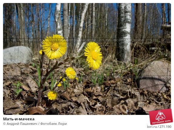 Мать-и-мачеха, фото № 271190, снято 2 мая 2008 г. (c) Андрей Пашкевич / Фотобанк Лори