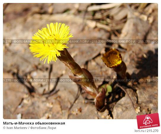 Мать-и-Мачеха обыкновенная, фото № 215270, снято 20 апреля 2007 г. (c) Василий Каргандюм / Фотобанк Лори