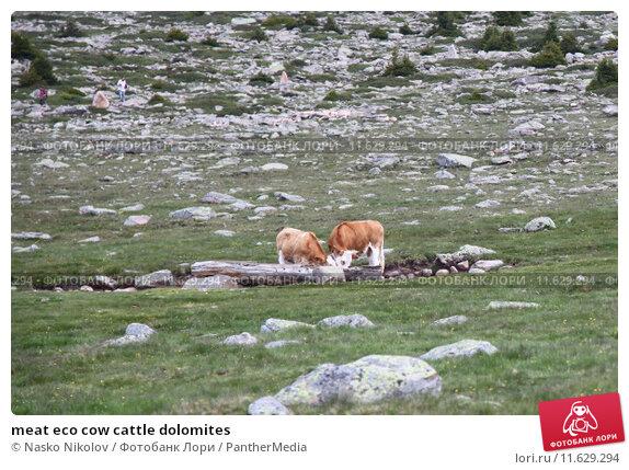 Купить «meat eco cow cattle dolomites», фото № 11629294, снято 19 июля 2019 г. (c) PantherMedia / Фотобанк Лори