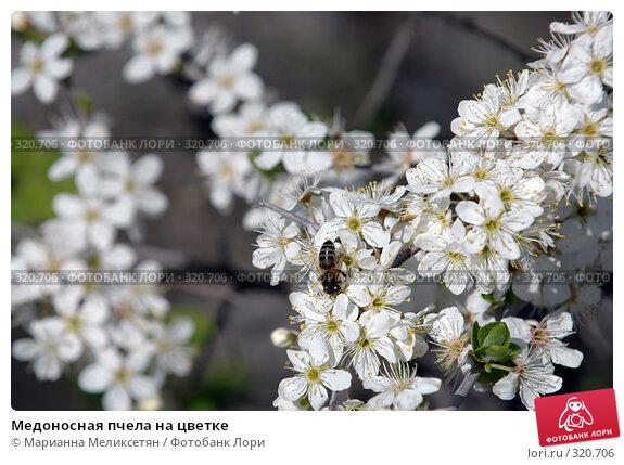 Медоносная пчела на цветке, фото № 320706, снято 22 апреля 2007 г. (c) Марианна Меликсетян / Фотобанк Лори