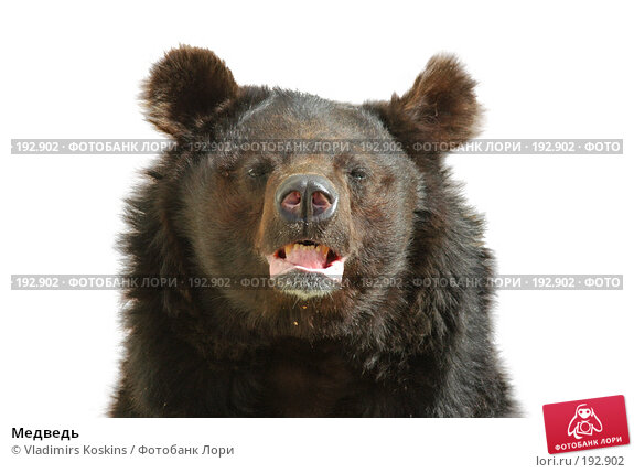 Медведь, фото № 192902, снято 29 августа 2006 г. (c) Vladimirs Koskins / Фотобанк Лори