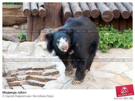 Медведь губач, фото № 481742, снято 26 сентября 2008 г. (c) Сергей Лаврентьев / Фотобанк Лори