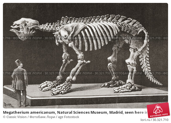Купить «Megatherium americanum, Natural Sciences Museum, Madrid, seen here in the late 19th century. The first Megatherium discovered in Argentina in 1788 was...», фото № 30321710, снято 16 января 2019 г. (c) age Fotostock / Фотобанк Лори