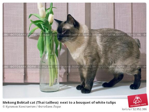 Mekong Bobtail cat (Thai tailless)  next to a bouquet of white tulips. Стоковое фото, фотограф Куликов Константин / Фотобанк Лори