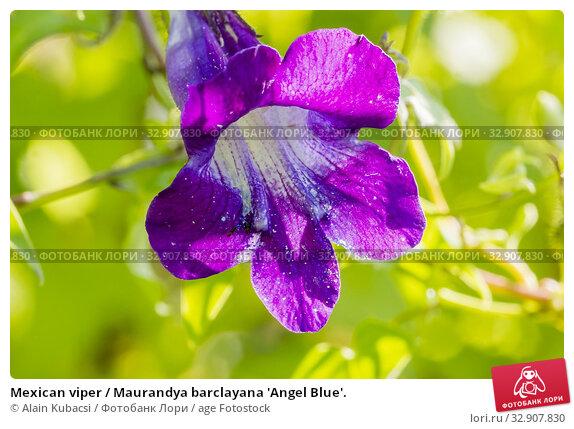 Mexican viper / Maurandya barclayana 'Angel Blue'. Стоковое фото, фотограф Alain Kubacsi / age Fotostock / Фотобанк Лори