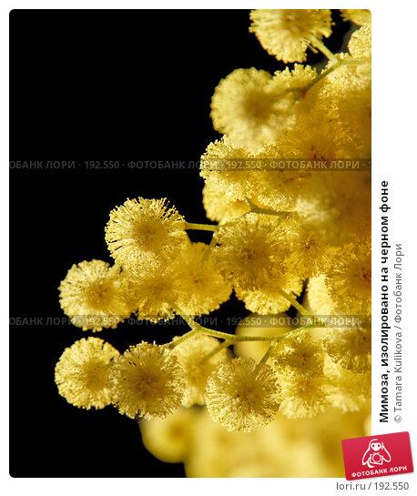 Мимоза, изолировано на черном фоне, фото № 192550, снято 2 февраля 2008 г. (c) Tamara Kulikova / Фотобанк Лори