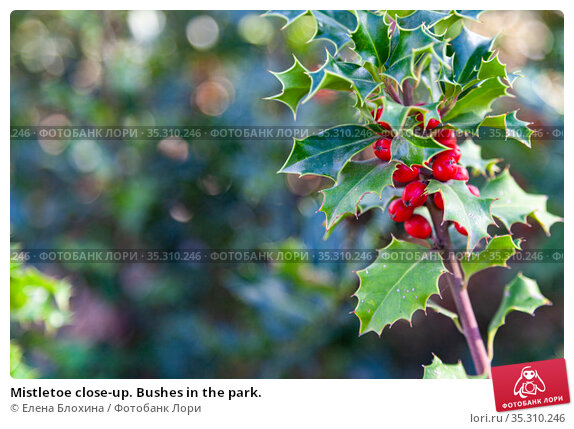 Mistletoe close-up. Bushes in the park. Стоковое фото, фотограф Елена Блохина / Фотобанк Лори