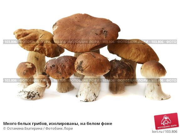 Купить «Много белых грибов, изолированы, на белом фоне», фото № 103806, снято 22 ноября 2017 г. (c) Останина Екатерина / Фотобанк Лори