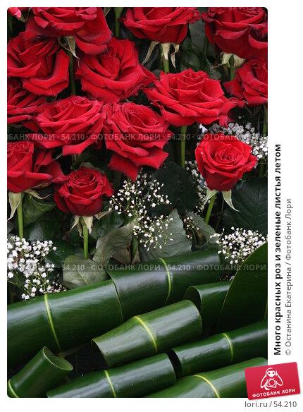 Много красных роз и зеленые листья летом, фото № 54210, снято 19 февраля 2007 г. (c) Останина Екатерина / Фотобанк Лори