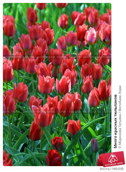 Купить «Много красных тюльпанов», фото № 160010, снято 7 мая 2006 г. (c) Морозова Татьяна / Фотобанк Лори