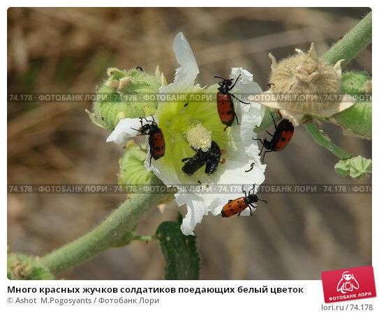 Много красных жучков солдатиков поедающих белый цветок, фото № 74178, снято 7 июля 2007 г. (c) Ashot  M.Pogosyants / Фотобанк Лори