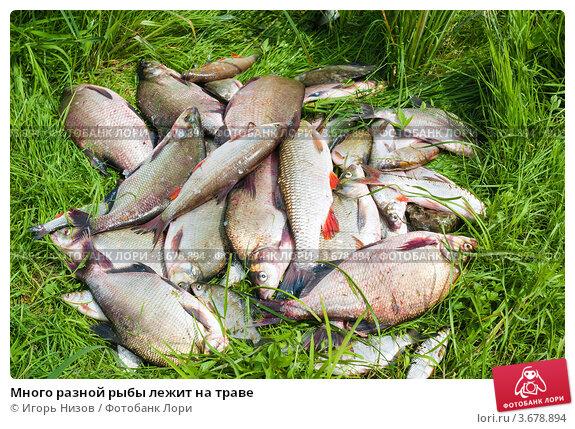 Купить «Много разной рыбы лежит на траве», эксклюзивное фото № 3678894, снято 18 июля 2012 г. (c) Игорь Низов / Фотобанк Лори