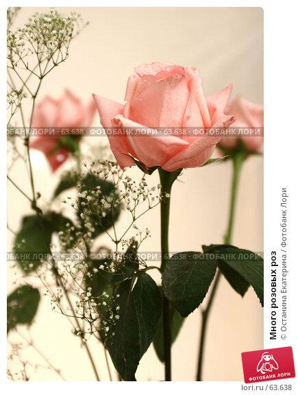 Много розовых роз, фото № 63638, снято 13 июля 2007 г. (c) Останина Екатерина / Фотобанк Лори