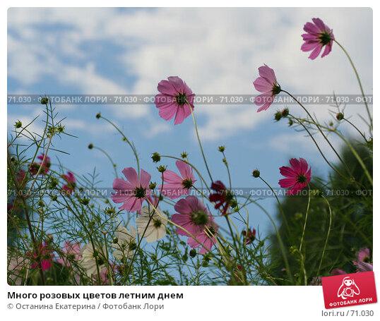 Много розовых цветов летним днем, фото № 71030, снято 10 августа 2007 г. (c) Останина Екатерина / Фотобанк Лори