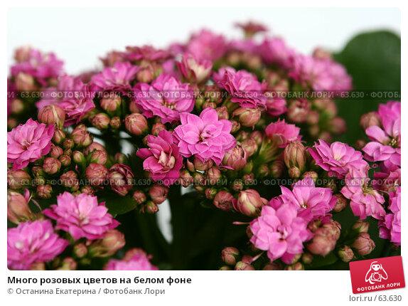 Много розовых цветов на белом фоне, фото № 63630, снято 13 июля 2007 г. (c) Останина Екатерина / Фотобанк Лори