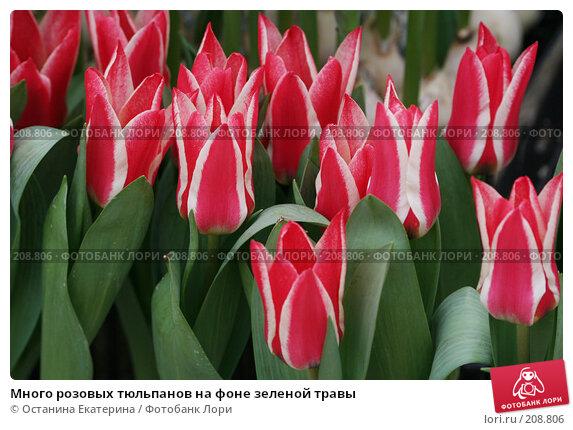 Много розовых тюльпанов на фоне зеленой травы, фото № 208806, снято 14 февраля 2008 г. (c) Останина Екатерина / Фотобанк Лори