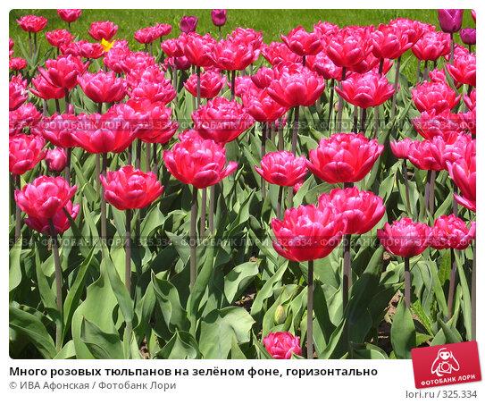 Много розовых тюльпанов на зелёном фоне, горизонтально, фото № 325334, снято 30 апреля 2008 г. (c) ИВА Афонская / Фотобанк Лори
