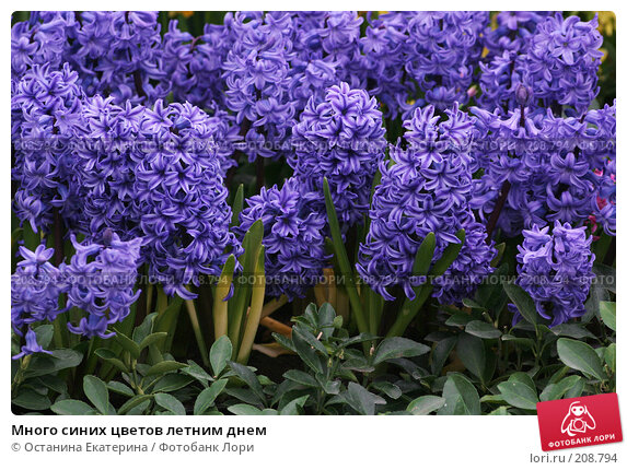 Много синих цветов летним днем, фото № 208794, снято 14 февраля 2008 г. (c) Останина Екатерина / Фотобанк Лори