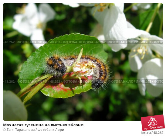 Мохнатая гусеница на листьях яблони, фото № 48262, снято 24 января 2017 г. (c) Таня Тараканова / Фотобанк Лори