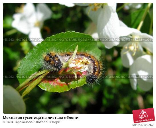 Мохнатая гусеница на листьях яблони, фото № 48262, снято 27 октября 2016 г. (c) Таня Тараканова / Фотобанк Лори
