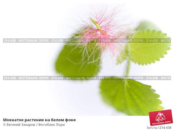Купить «Мохнатое растение на белом фоне», фото № 214438, снято 1 марта 2008 г. (c) Евгений Захаров / Фотобанк Лори