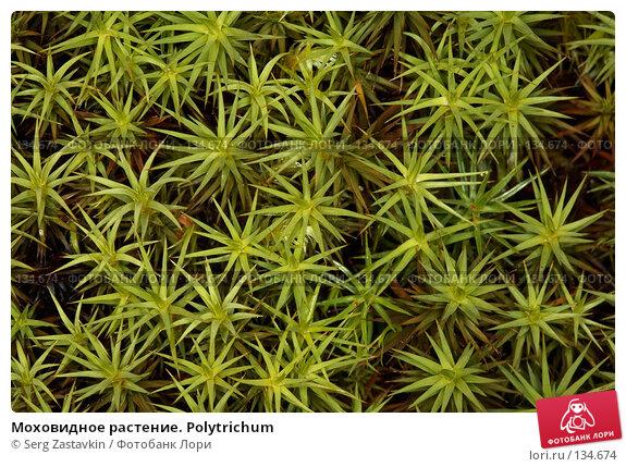 Моховидное растение. Polytrichum, фото № 134674, снято 10 августа 2006 г. (c) Serg Zastavkin / Фотобанк Лори