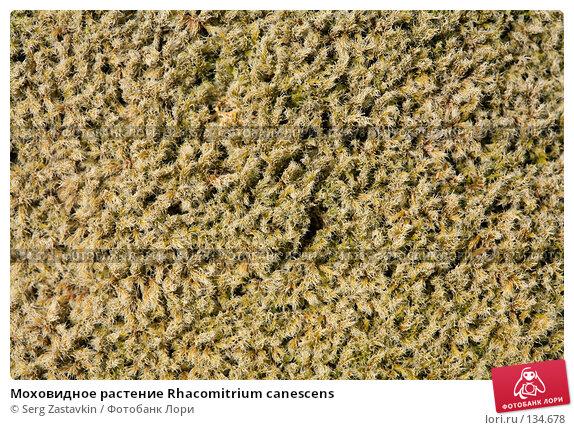 Моховидное растение Rhacomitrium canescens, фото № 134678, снято 15 августа 2006 г. (c) Serg Zastavkin / Фотобанк Лори