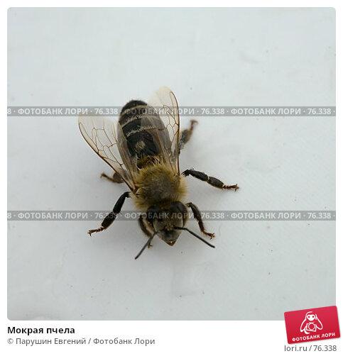 Купить «Мокрая пчела», фото № 76338, снято 25 апреля 2018 г. (c) Парушин Евгений / Фотобанк Лори