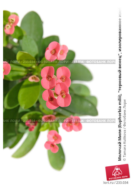 """Молочай Миля (Euphorbia milii), """"терновый венец"""", изолированное изображение, фото № 233034, снято 25 марта 2008 г. (c) Tamara Kulikova / Фотобанк Лори"""