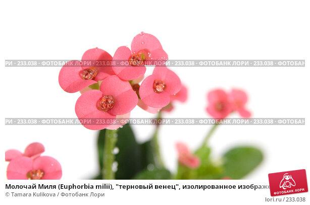 """Молочай Миля (Euphorbia milii), """"терновый венец"""", изолированное изображение, фото № 233038, снято 25 марта 2008 г. (c) Tamara Kulikova / Фотобанк Лори"""