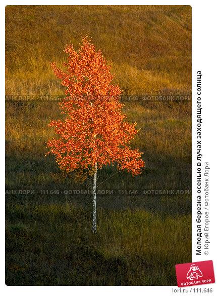 Молодая березка осенью в лучах заходящего солнца, фото № 111646, снято 21 июля 2017 г. (c) Юрий Егоров / Фотобанк Лори