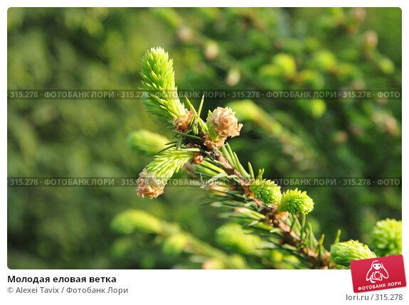 Молодая еловая ветка, эксклюзивное фото № 315278, снято 29 мая 2008 г. (c) Alexei Tavix / Фотобанк Лори