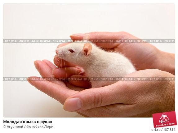 Молодая крыса в руках, фото № 187814, снято 27 января 2008 г. (c) Argument / Фотобанк Лори