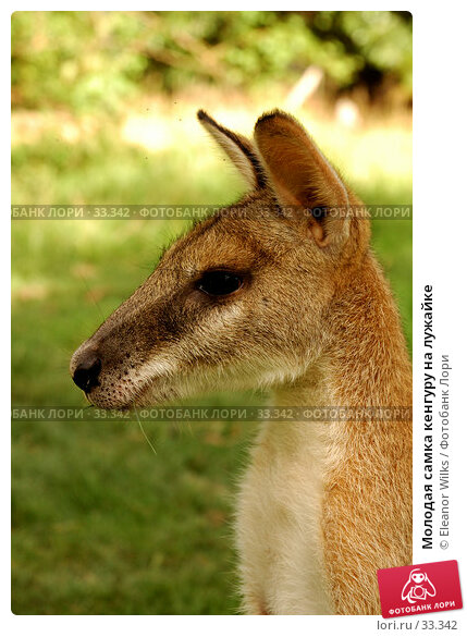 Молодая самка кенгуру на лужайке, фото № 33342, снято 14 мая 2007 г. (c) Eleanor Wilks / Фотобанк Лори