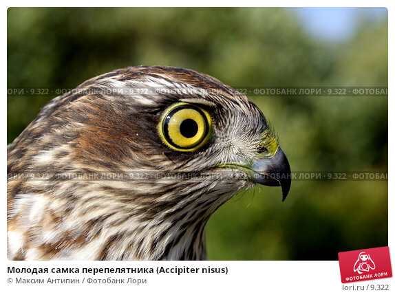 Молодая самка перепелятника (Accipiter nisus), фото № 9322, снято 22 августа 2006 г. (c) Максим Антипин / Фотобанк Лори