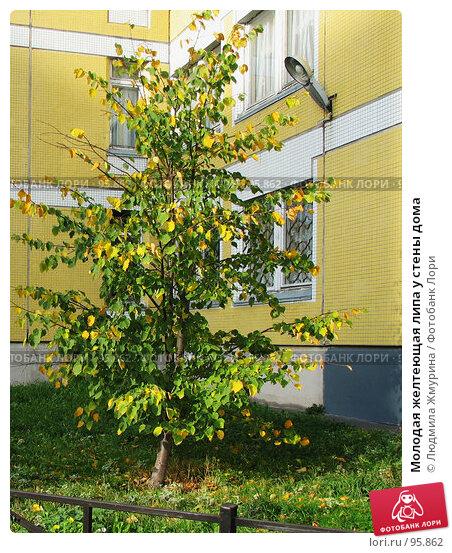 Молодая желтеющая липа у стены дома, фото № 95862, снято 18 января 2017 г. (c) Людмила Жмурина / Фотобанк Лори