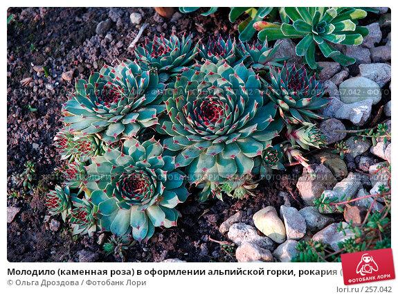 Молодило (каменная роза) в оформлении альпийской горки, рокария (sempervivum), фото № 257042, снято 2 октября 2005 г. (c) Ольга Дроздова / Фотобанк Лори