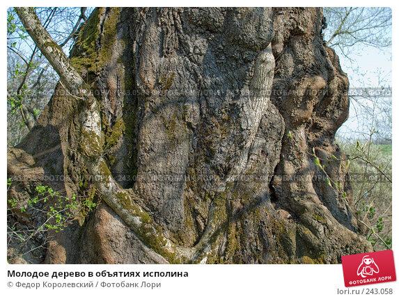 Молодое дерево в объятиях исполина, фото № 243058, снято 4 апреля 2008 г. (c) Федор Королевский / Фотобанк Лори