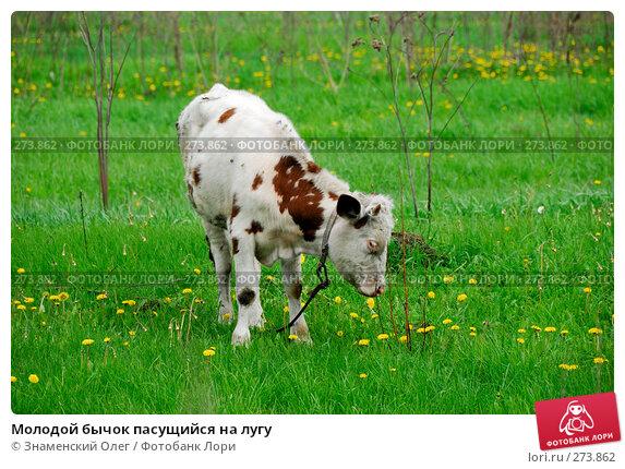 Молодой бычок пасущийся на лугу, эксклюзивное фото № 273862, снято 2 мая 2008 г. (c) Знаменский Олег / Фотобанк Лори