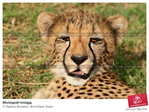 Молодой гепард, фото № 302574, снято 15 мая 2008 г. (c) Лариса Фокина / Фотобанк Лори