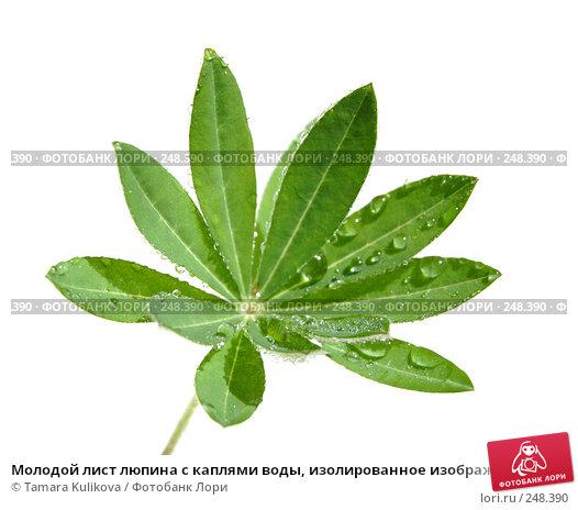 Молодой лист люпина с каплями воды, изолированное изображение, фото № 248390, снято 11 апреля 2008 г. (c) Tamara Kulikova / Фотобанк Лори