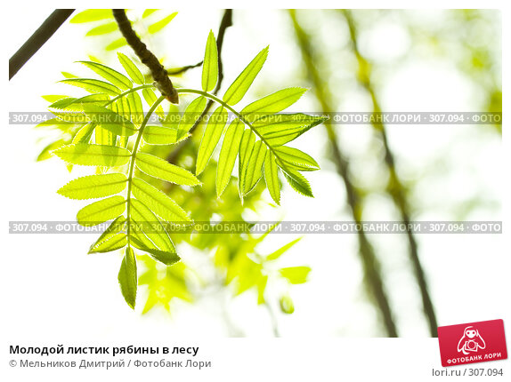 Купить «Молодой листик рябины в лесу», фото № 307094, снято 1 мая 2008 г. (c) Мельников Дмитрий / Фотобанк Лори